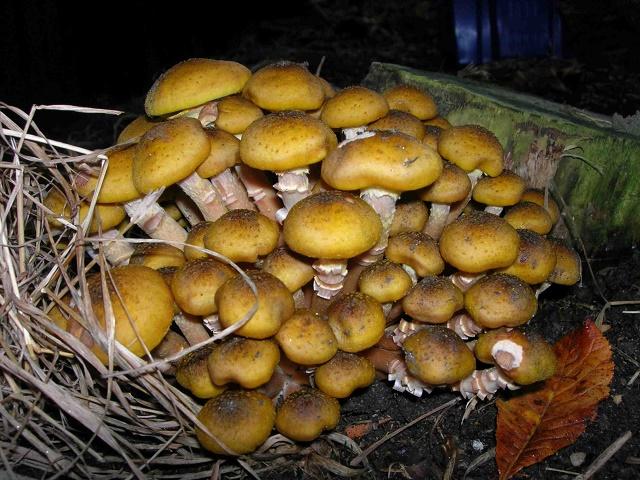 Ядовитые грибы похожие на съедобные